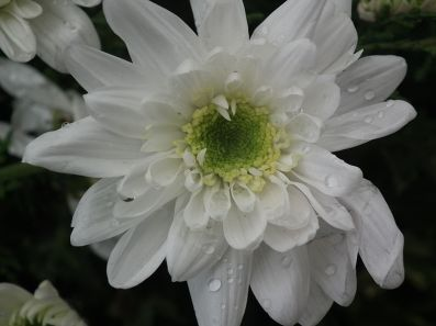 A_White_Chrysanthemum