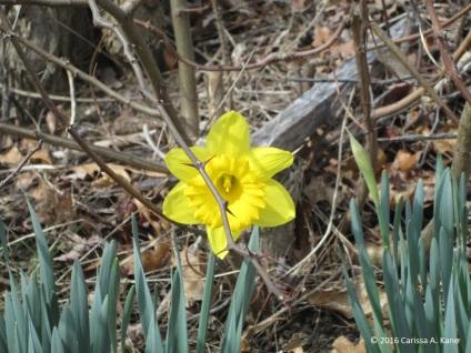 DaffodilCAK