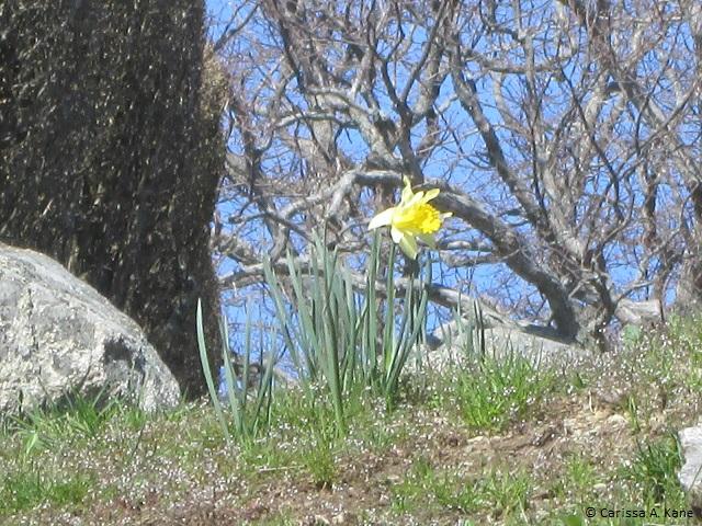 DaffodilRoomToGrow